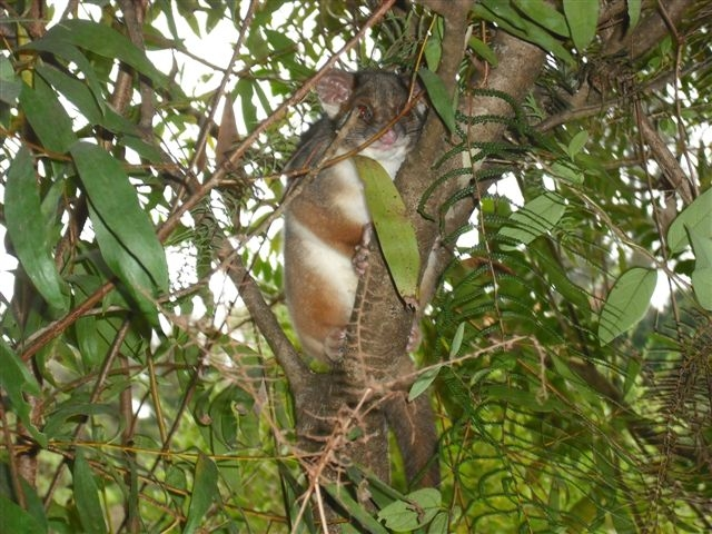 Ring-tailed Possum in the newly regenerated area April 2016