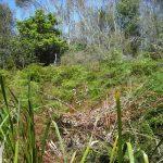 Treated Blackberry in Gleichenia swamp, Lawson Creek