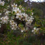 Plague Soldier Beetles on Leptopsermum sp. Tea tree, August 2014 (Photo BMCC)