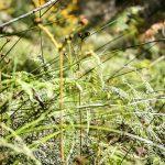Sedges and ferns near Lawson Creek Photo: V Hong