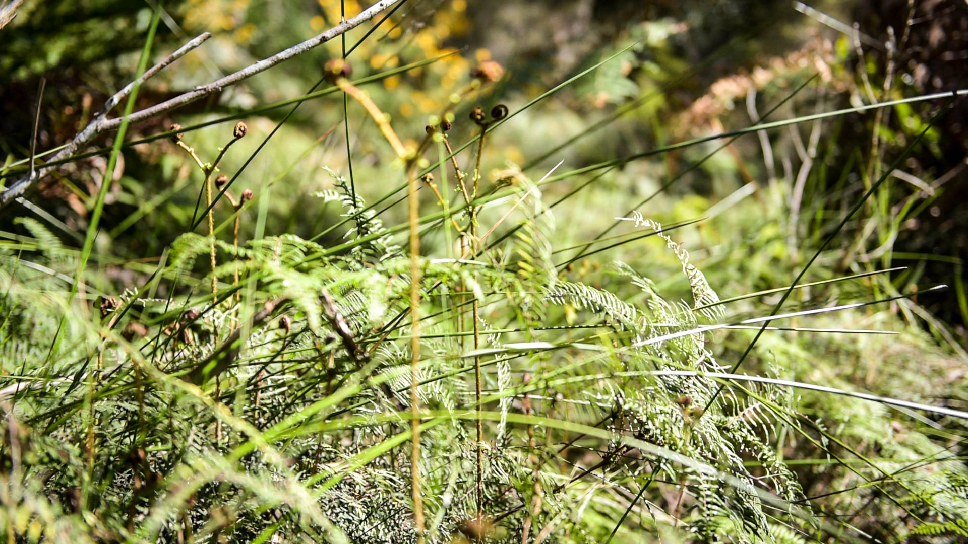 Sedges and ferns near Lawson Creek Photo: V Hong
