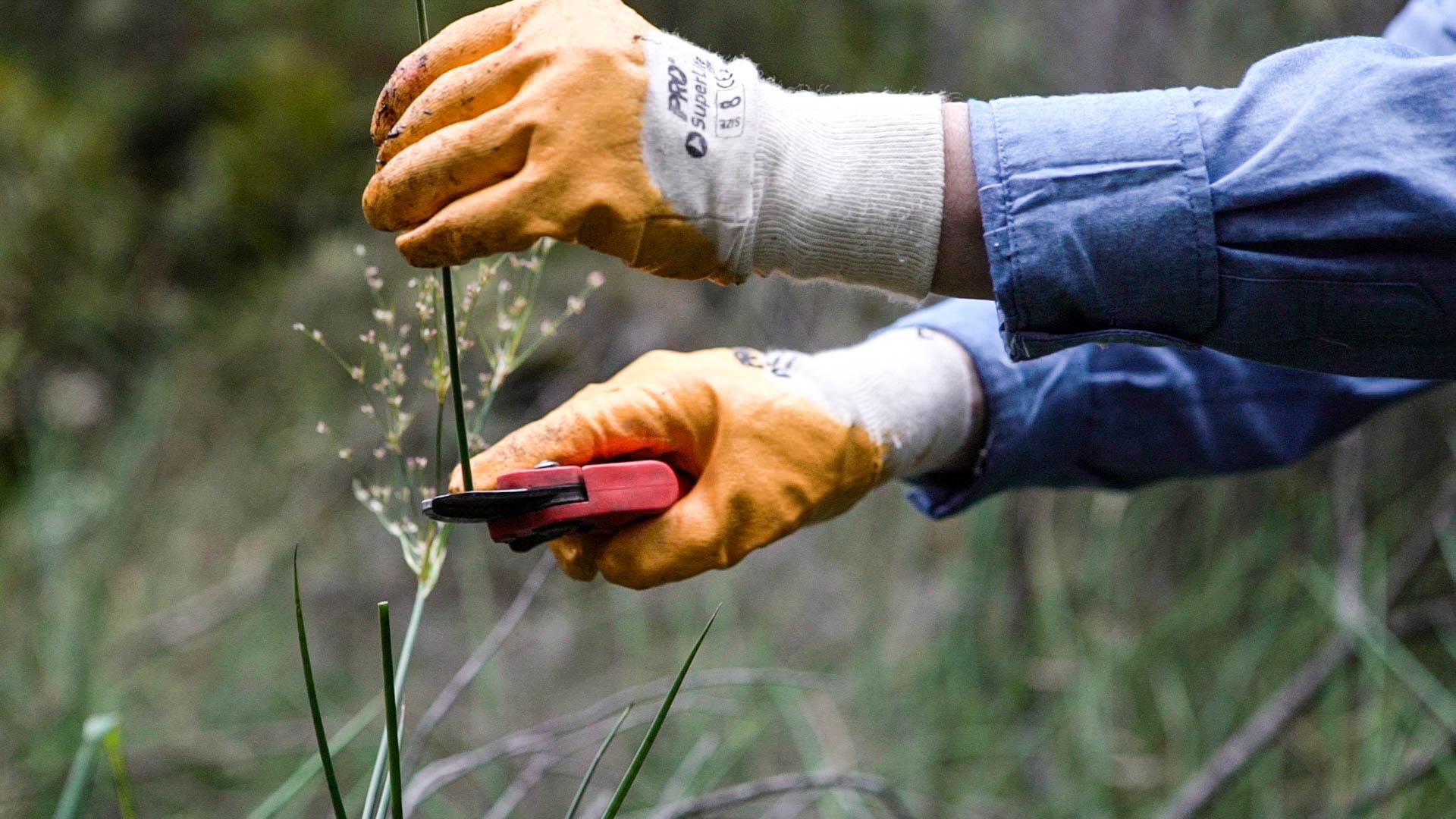 Removing weed seed Photo: V Hong