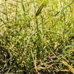 Native grasses Photo: V Hong