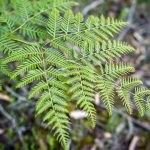 Bracken fern Photo: V Hong