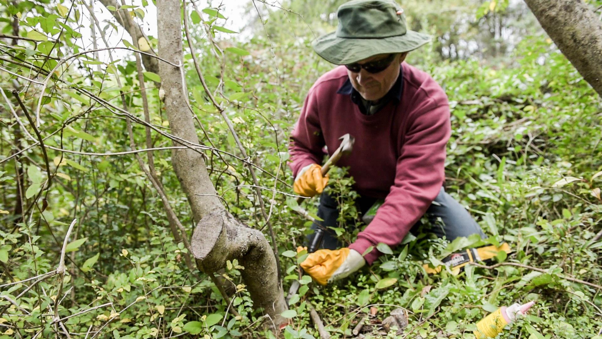 Stem injection of herbicide into Privet Photo: V Hong