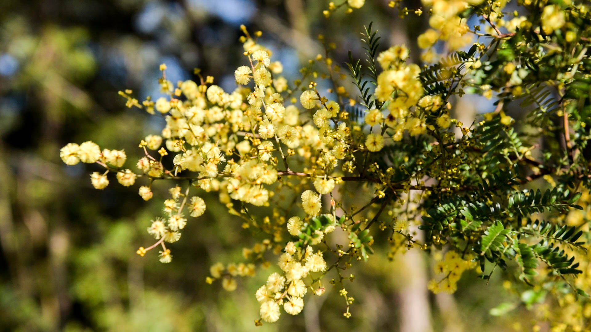 Lovely wattle Photo: V Hong