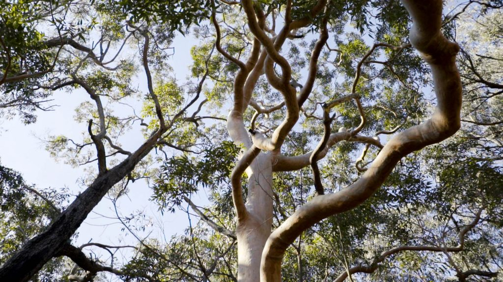 Angophora costata Photo: V Hong