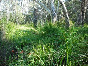 Weeds in Lawson swamp: Deadly nightshade, MOntbretia, Arum lily, March 2018