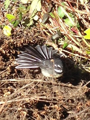 "Grey Fantail ""Rhipidura albiscapa"" Regeneration area 2018"
