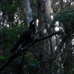 Yellow-tailed Black Cockatoo Cataract Creek July 2018 (Photo P Ardill)