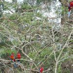 Crimson rosellas (Photo: E Carmichael)