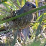 Female or immature male Satin Bowerbird November 2018 fauna survey Photo: R Pattingale 2018