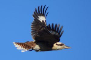Kookaburra, dacelo novaeguineae, November 2018 flora survey Photo: R Pattingale 2018