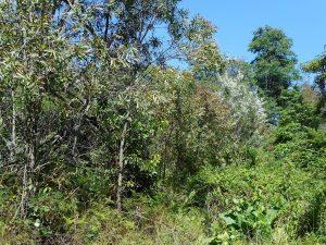 Weed infestation rhs engulfing upper Lawson swamp Dec 2018 Photo: P Ardill